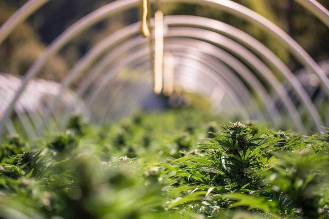 cbd cannabis legal